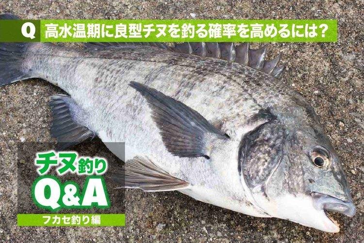 チヌ・フカセ釣りの悩みを解消!!|高水温期に良型チヌを釣る確率を高めるには?