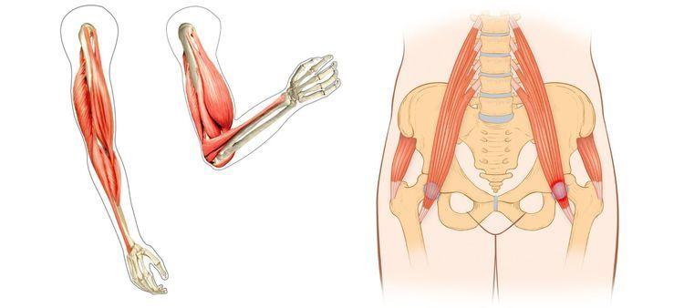 筋トレ初心者向け「腕&インナーマッスル」の筋肉解説│上腕二頭筋、上腕三頭筋、腸腰筋、内転筋はどこを指す?