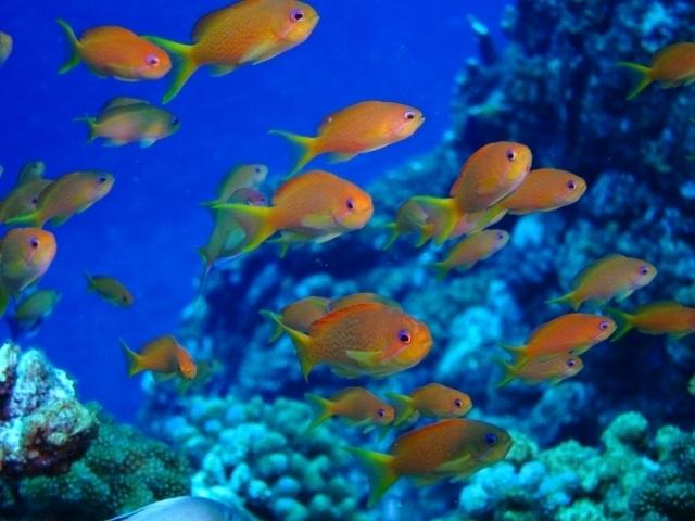 キンギョハナダイはどんな海水魚?性転換する特徴や飼育方法を解説!