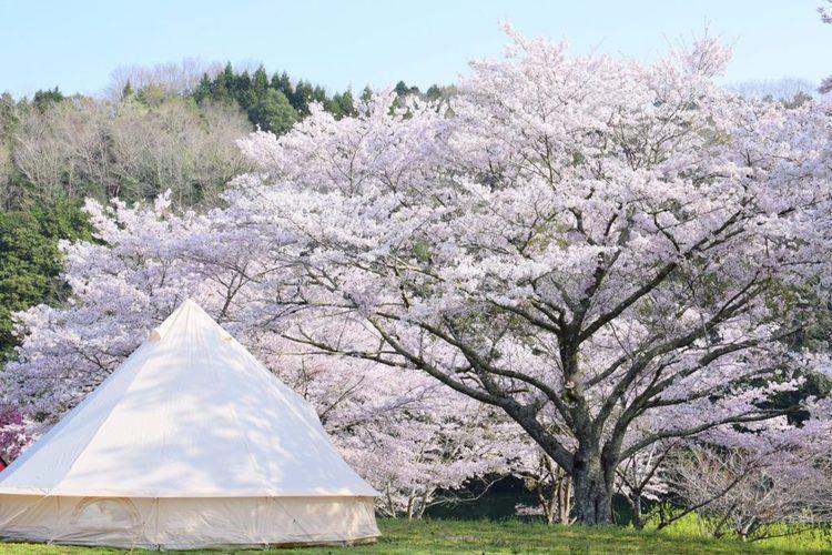 【春限定の贅沢】お花見キャンプするならここ!