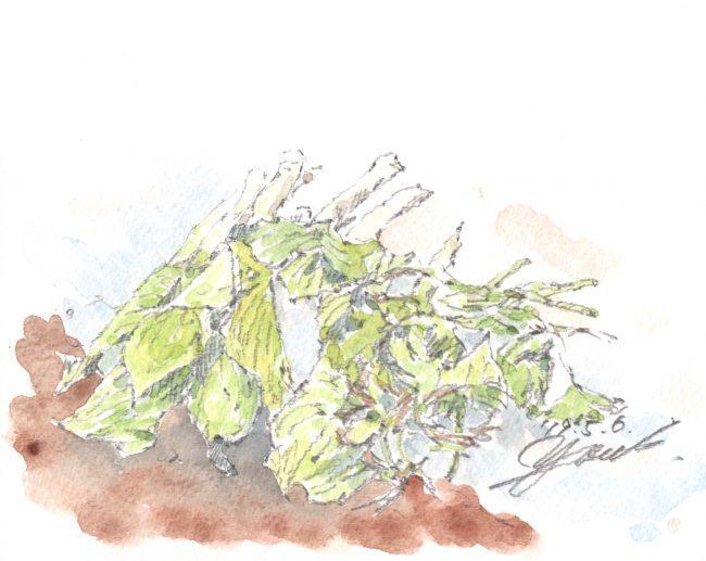 筆とまなざし#129「雪解けと新緑の季節を迎えた羽黒山麓での山菜取り」