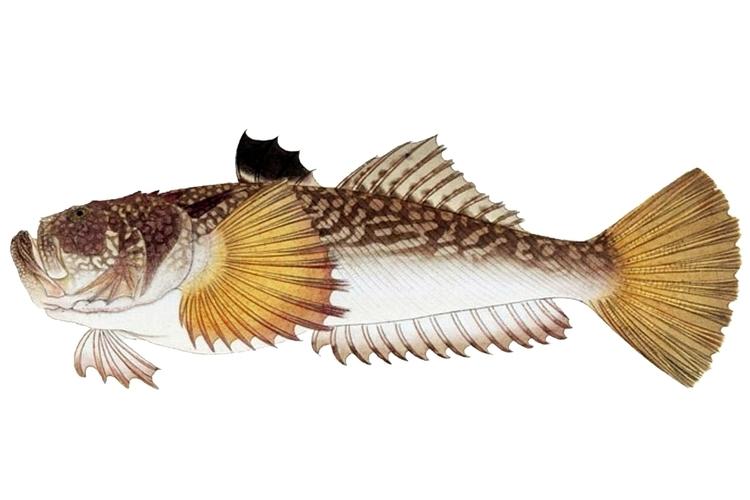ミシマオコゼとは?特徴的な見た目の魚の特徴や美味しい食べ方をご紹介!