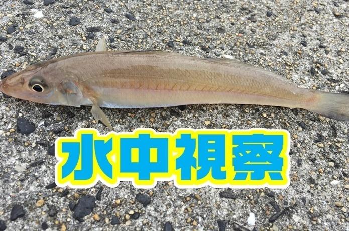 【キス釣り超攻略】シロギスを水中観察して分かった4つのこと。仕掛けや釣り方の基本を深堀します