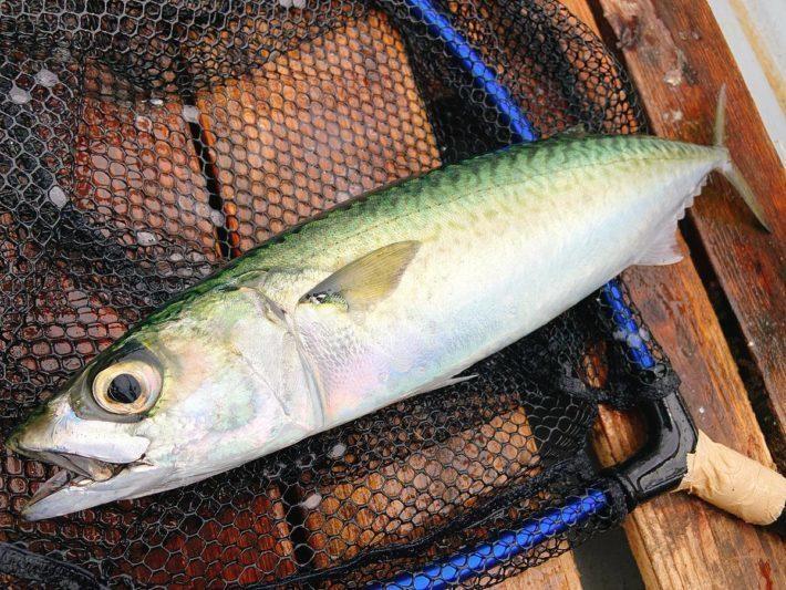 神奈川(東京湾・相模湾)で岸から「大サバ」が釣れる釣り場11選