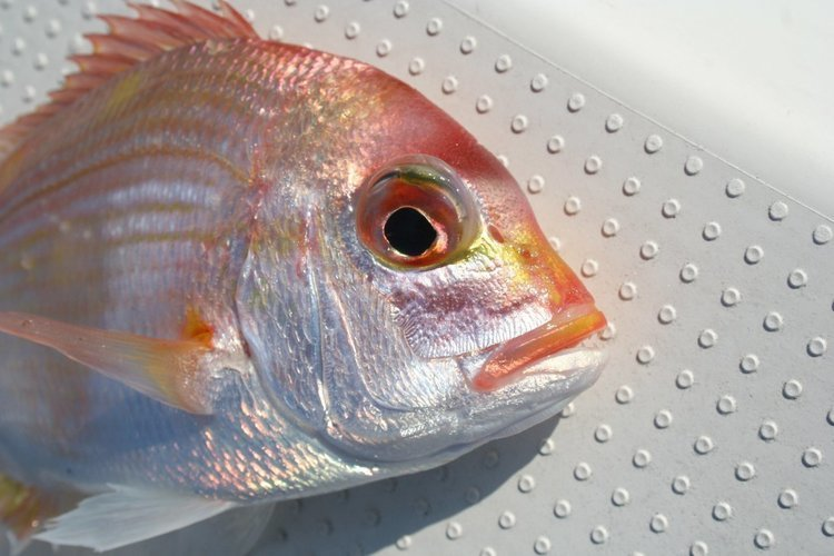 キダイ釣りに挑戦しよう!見た目も映えるで美味しいキダイを釣って楽しもう!