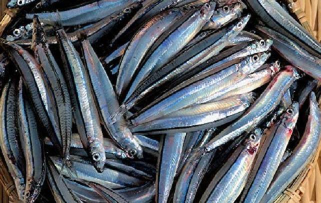 キビナゴで釣りたい!釣り餌として有名な小魚の生態や活用方法をチェック