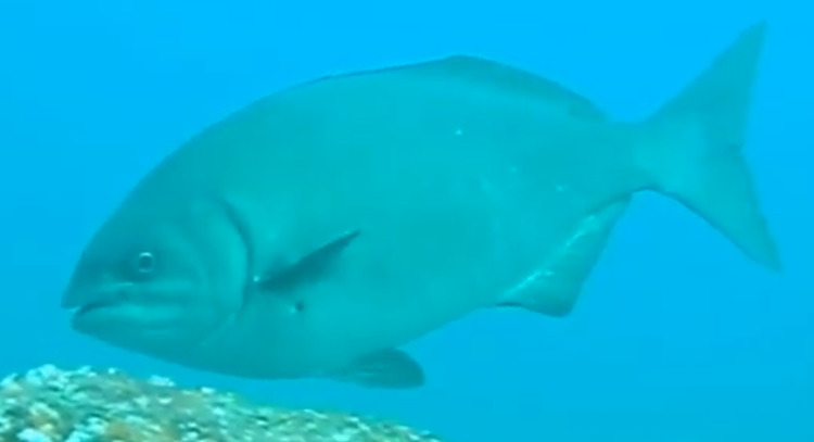イスズミってどんな魚なの?グレ(=メジナ)に似た大型サイズ!食べたらまずいってホント?