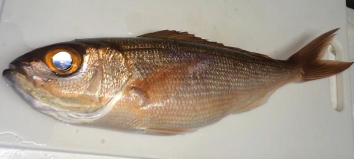 ヒメダイって知ってる?たまに釣れる高級魚の特徴や食べ方をチェック