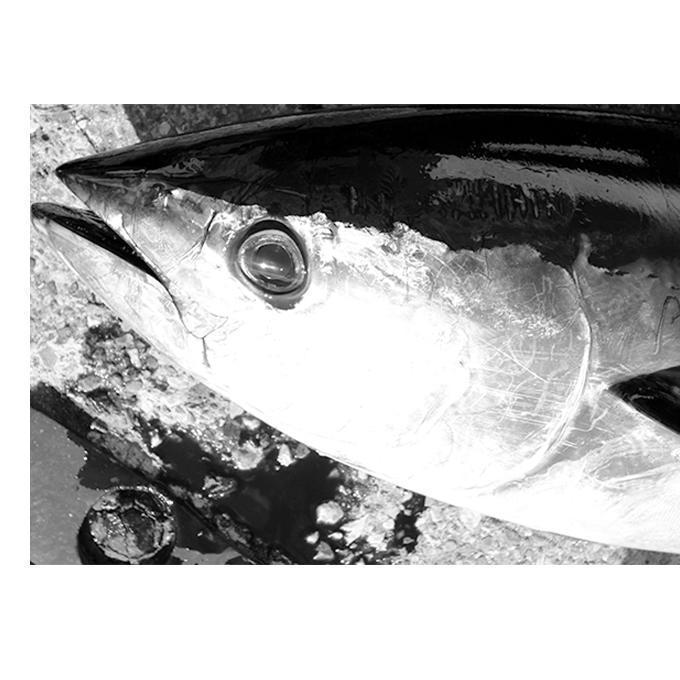 キハダの夏➁爆発的な効果!相模湾のフカセ釣り編