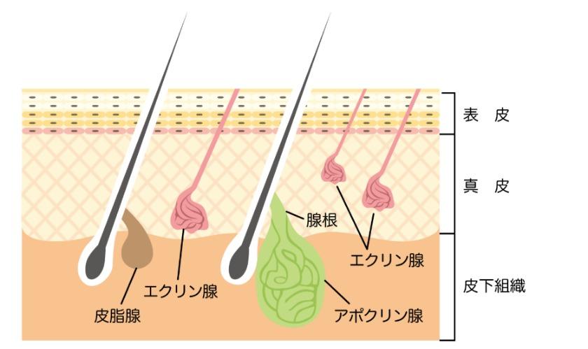 毛髪理論・皮膚理論