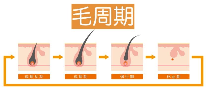 毛周期の3段階