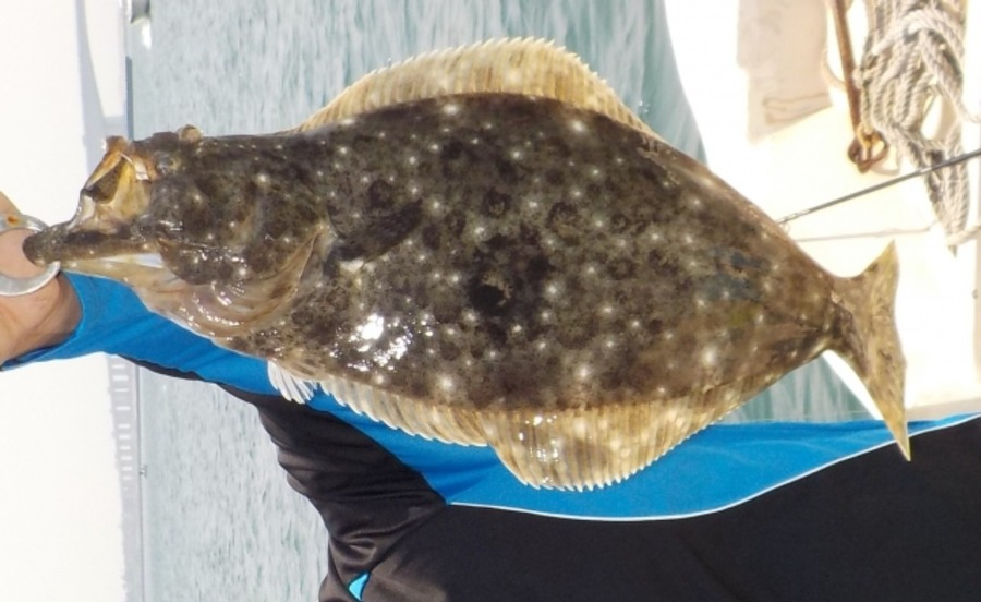 メタルマルでヒラメ釣り!釣り方やこのルアーで釣れる他の魚も紹介!