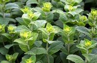 ミントテロは危険!嫌がらせにもなる庭に植えるとNGの植物は?
