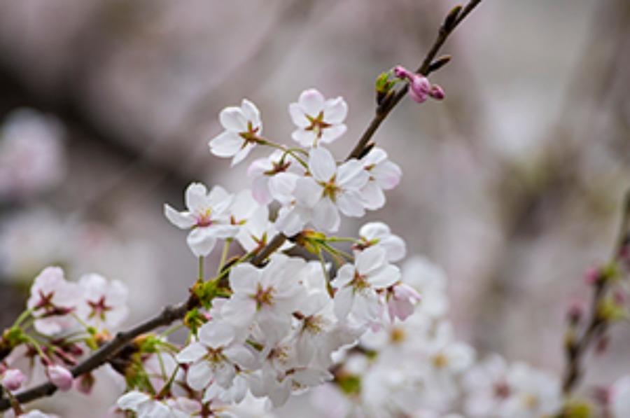 CITIZEN(シチズン)の零れ桜をイメージしたメカニカルウォッチの値段や特徴を調査!