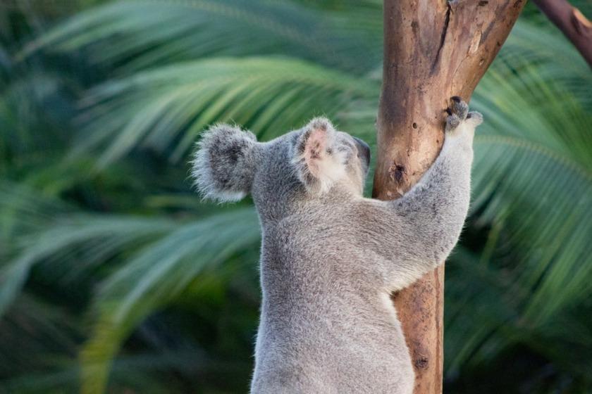 コアラ 動物園 日本
