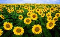 愛知のひまわり畑おすすめ!名古屋近郊や東海のひまわり畑も紹介!