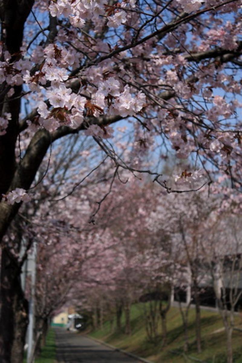 エドヒガン桜の開花時期は?特徴やおすすめスポットについても紹介