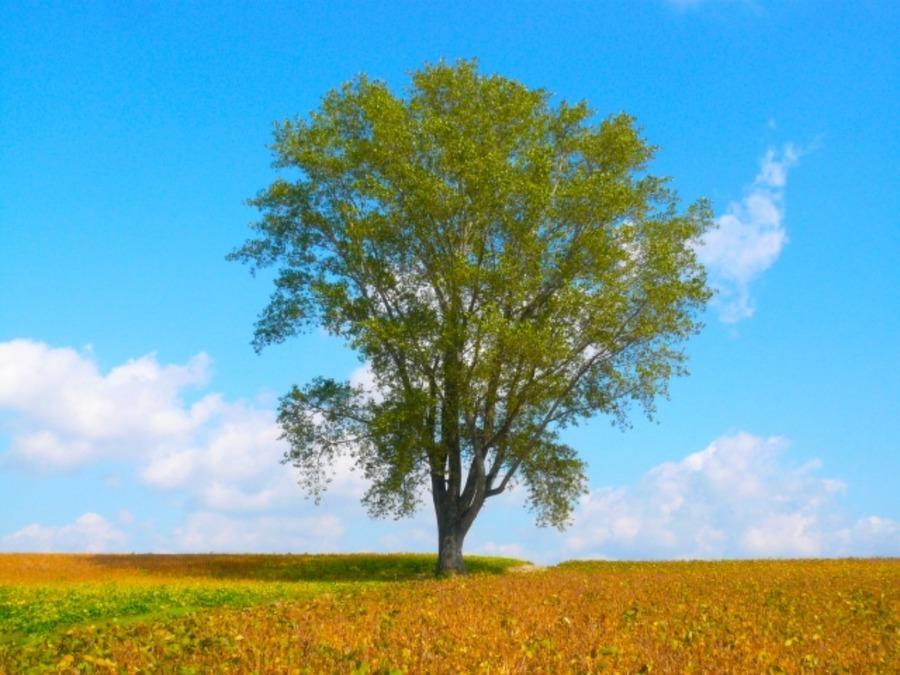 セブンスターの木はタバコCMやパッケージが由来?(北海道・美瑛)