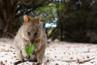 世界一幸せな動物クオッカはオーストラリアの動物!かわいいワラビーを紹介