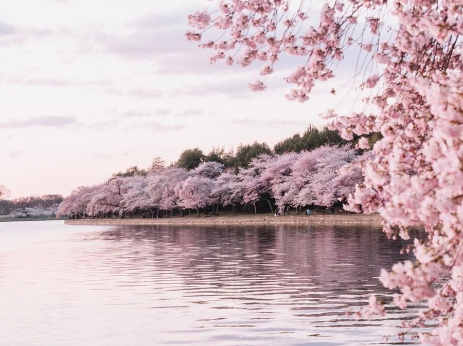 寒緋桜(カンヒザクラ)の種類や見頃を紹介!お花見におすすめの名所も