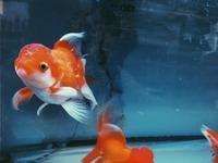 金魚ちょうちんは柳井市(山口県)の名物!祭りなどおすすめ情報を紹介