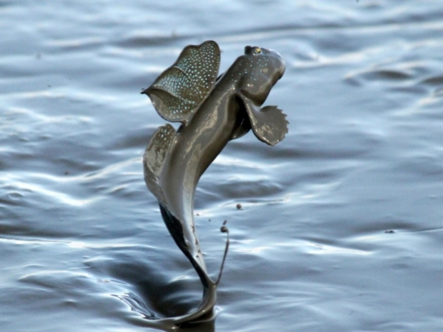 珍魚ムツゴロウは有明海が生息地?美味しい料理方法についても紹介