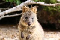 クォッカはオーストラリアの世界一幸せな動物!特徴・会える場所を紹介