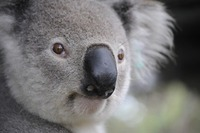 コアラ抱っこができるオーストラリアのおすすめ動物園!料金も紹介