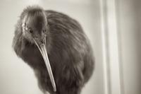 キーウィ(鳥)はかわいい珍動物!ニュージランドの国鳥はどこで見れる?