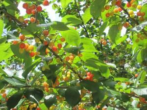 毎年豊作。暖地桜桃。