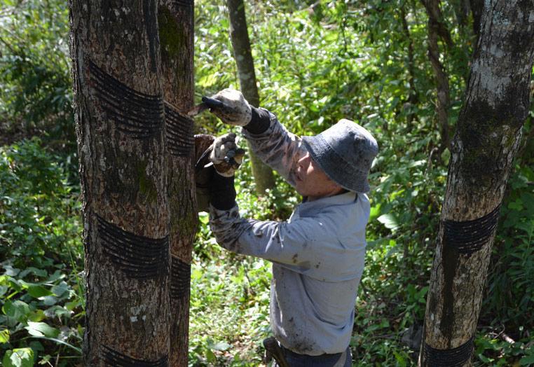 漆の木から上手に少しずつ採取することで、毎年繰り返し採取することができます