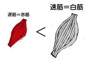 赤筋繊維よりも白筋繊維の方が大きい( illust by あっちゃん)