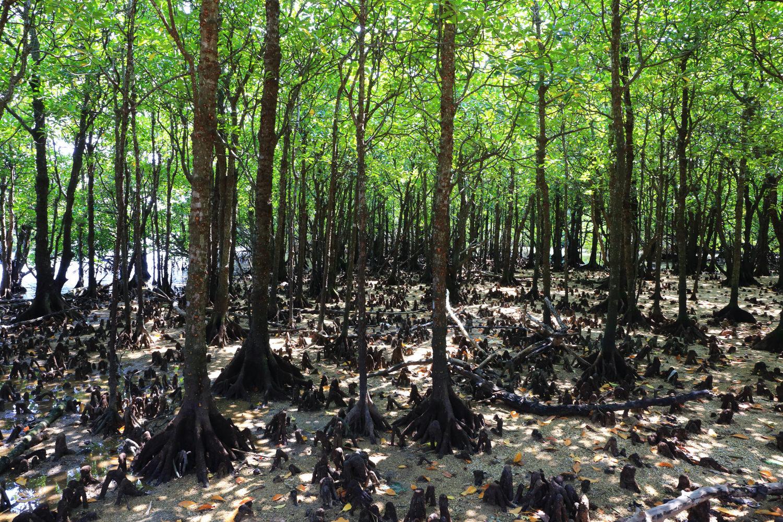宮良川のヒルギ林1