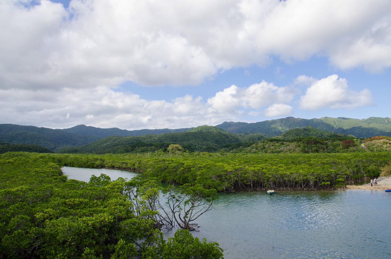 宮良川のヒルギ林2
