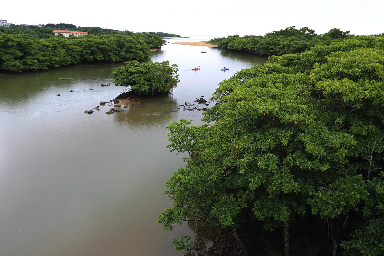 宮良川のヒルギ林4