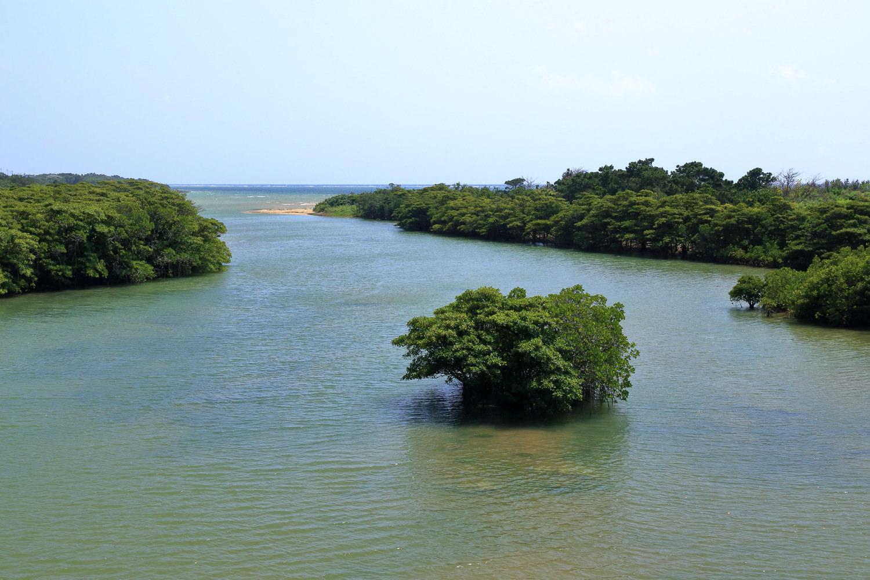 宮良川のヒルギ林3