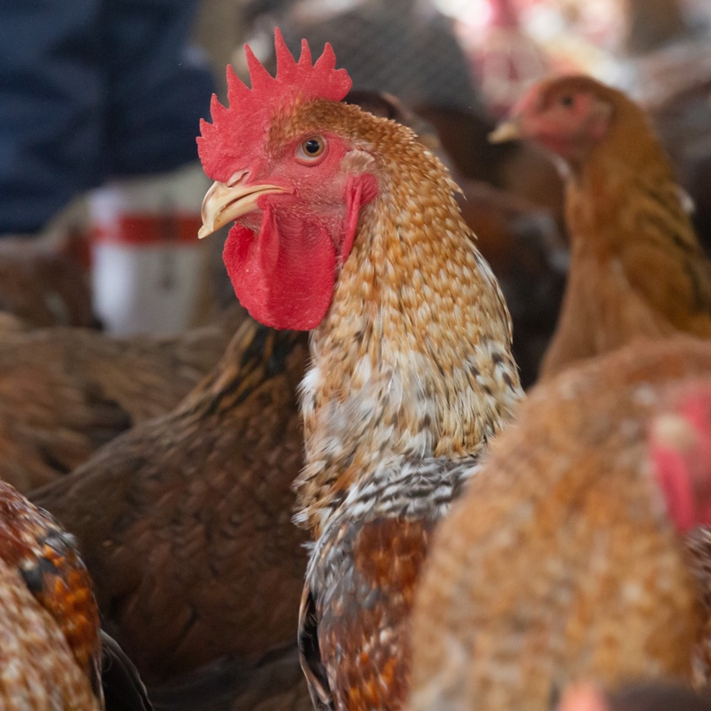 株式会社鹿野地鶏 キーワード: お試し 通販