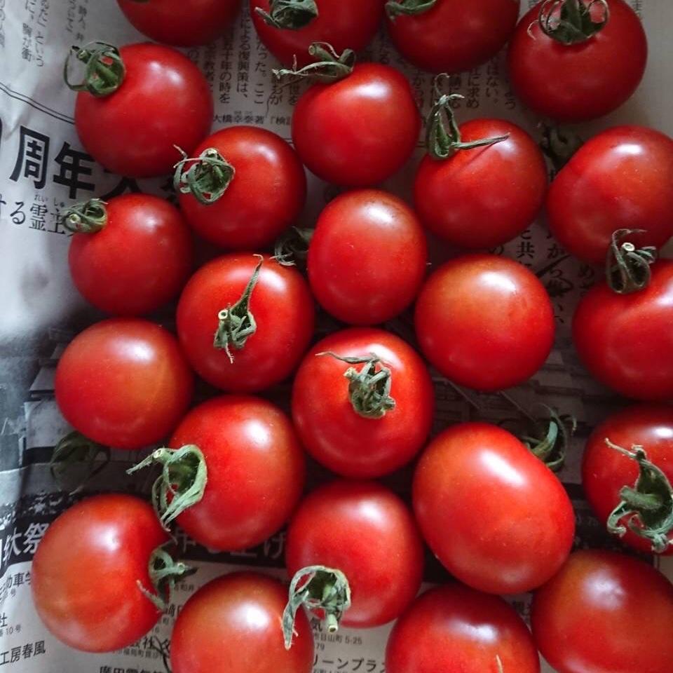 味くらべミニトマト1キロ  1キロ  野菜/トマト通販