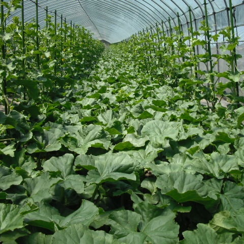 【無農薬・無化学肥料】北の森の至高のキングメロン 1玉 1.4kg〜 果物/メロン通販
