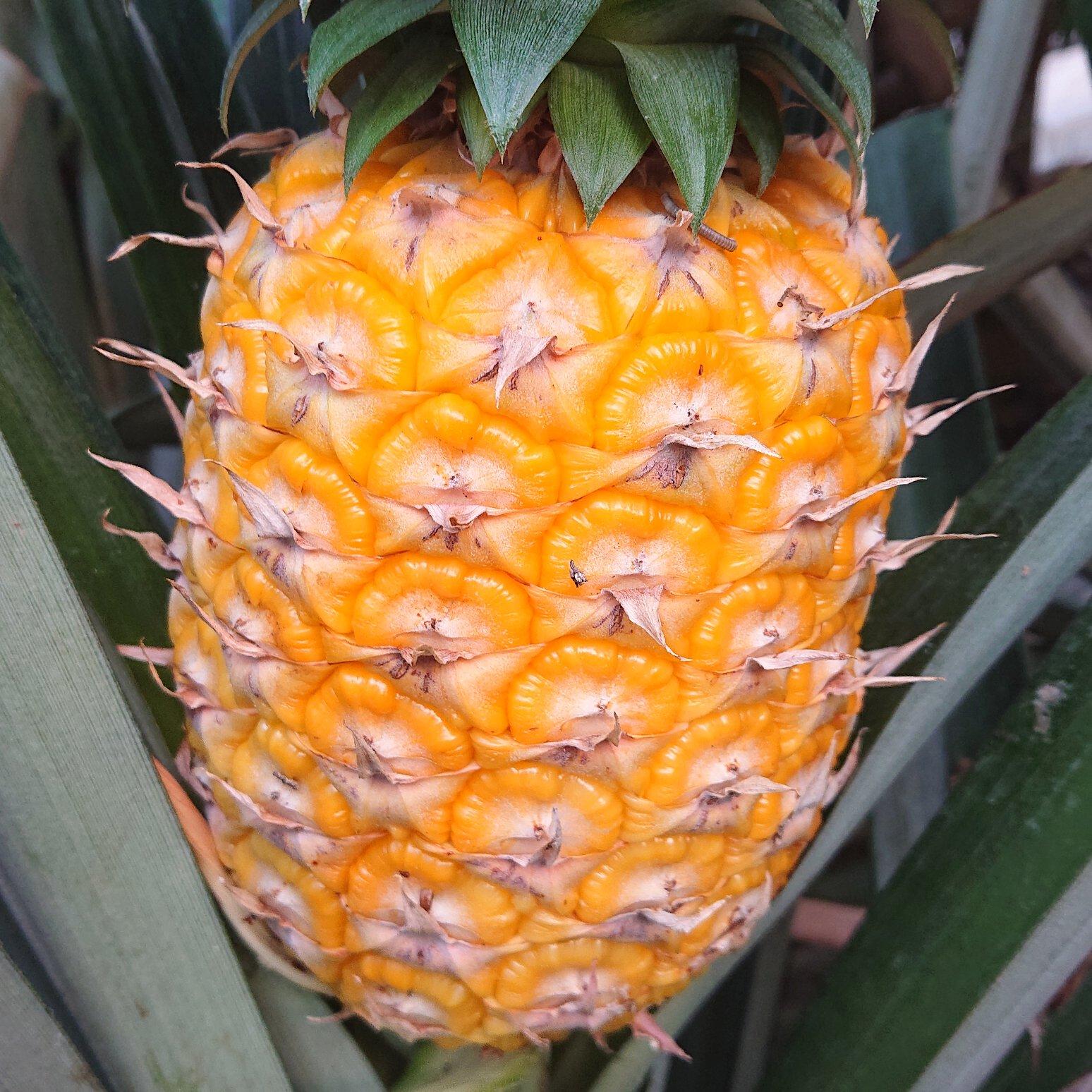 完熟パイナップル 1,6kg 果物/その他果物通販