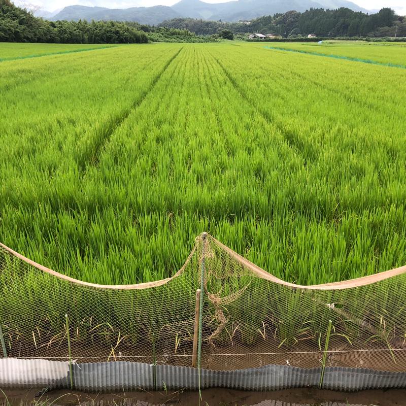 あらけ農園のアイガモ米
