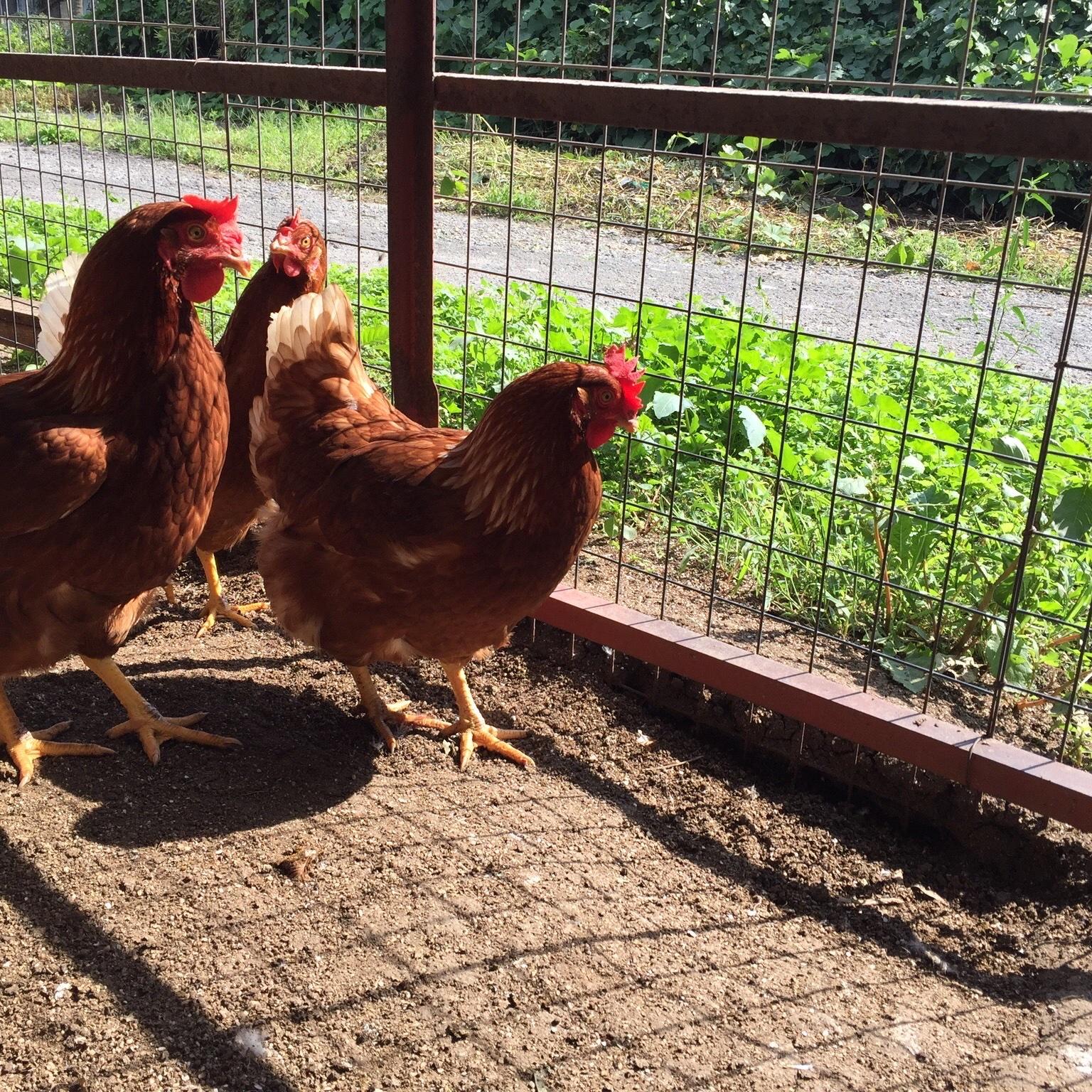 酵母・平飼いの卵6個✖️10パック 3.3-3.8kg (60個) 卵/鶏卵通販