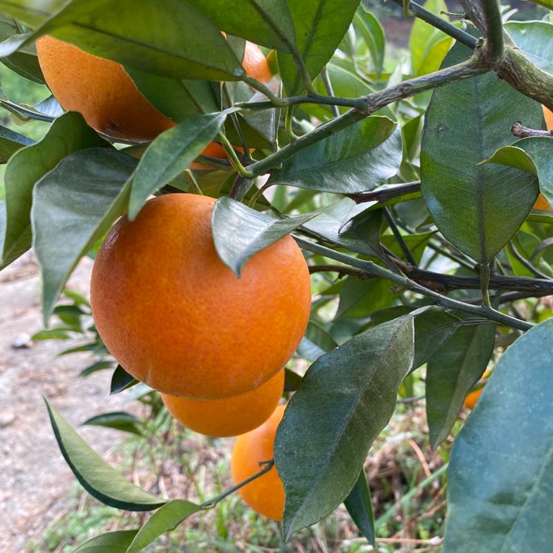 月読みブラッドオレンジ タロッコ種