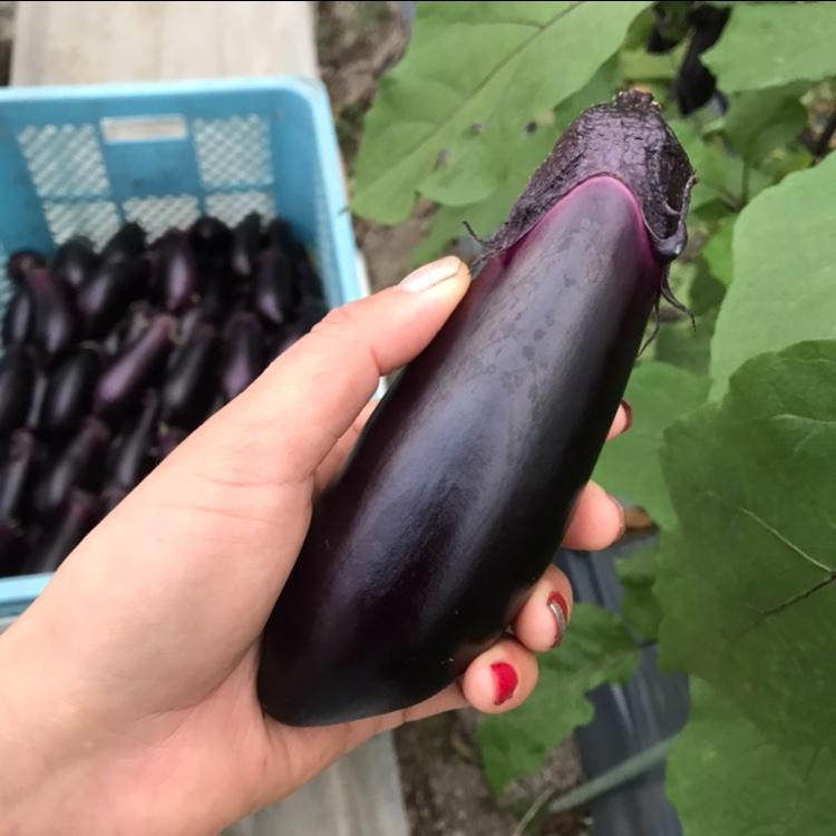 お試し🍆お多福野菜千両茄子 1.5〜2k 野菜/茄子通販