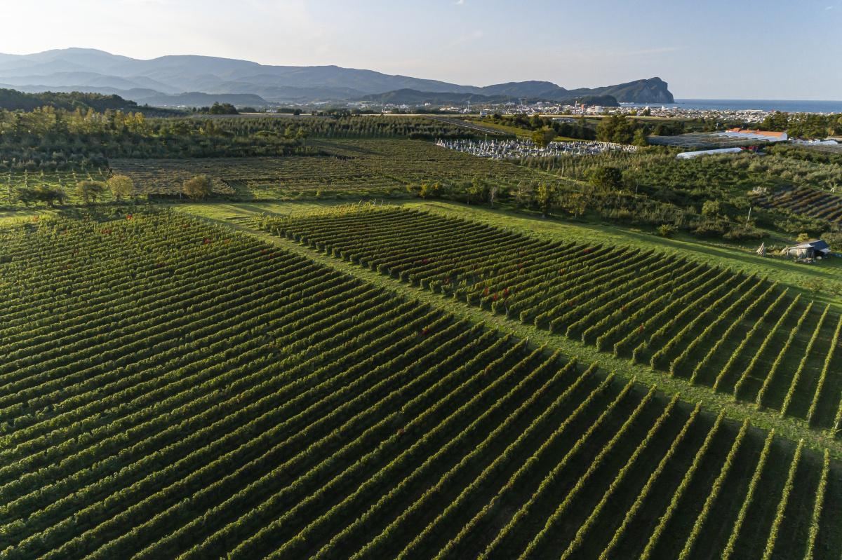 湿潤な気候のもと有機農法で育てた、北海道・余市のワインに世界が注目。