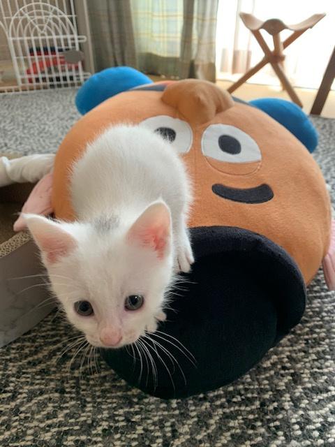 保護から約1ヵ月。我が家の子猫たちがこんなに大きくなりました。