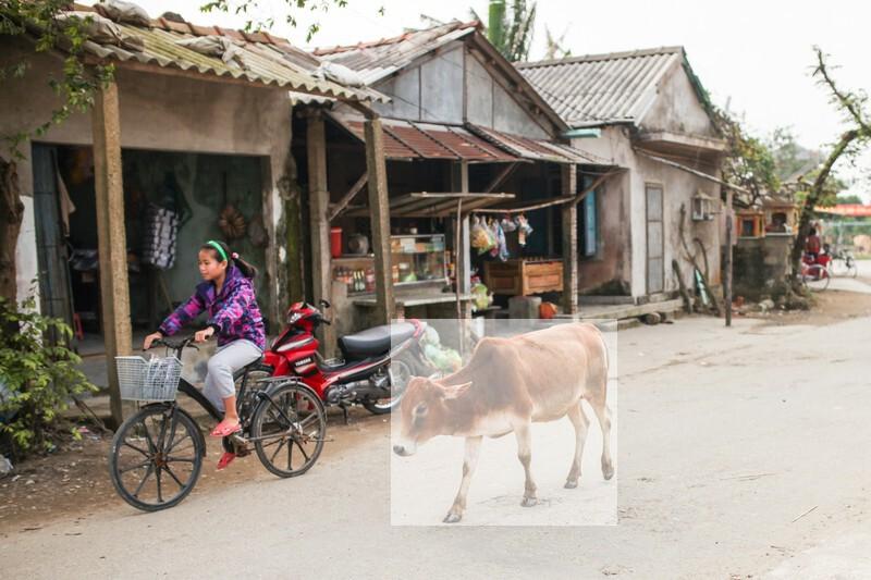 フエ郊外の村と牛(ベトナム)の写真素材 加工1