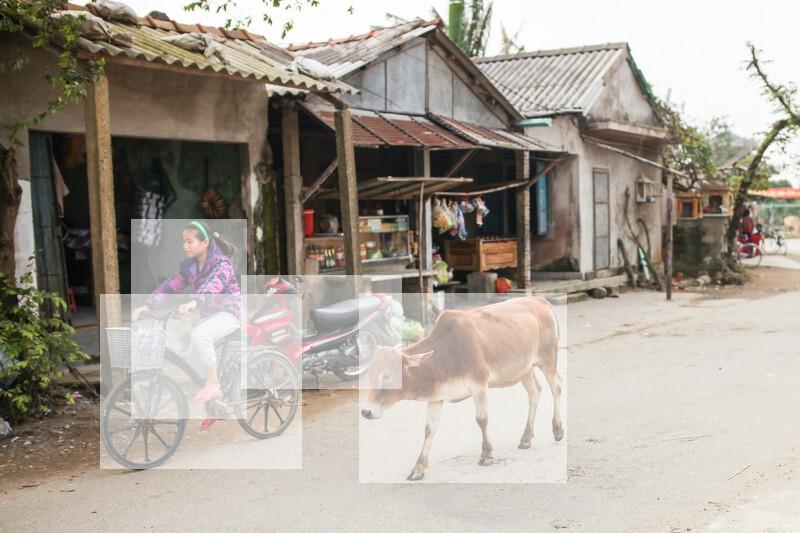 フエ郊外の村と牛(ベトナム)の写真素材 加工2