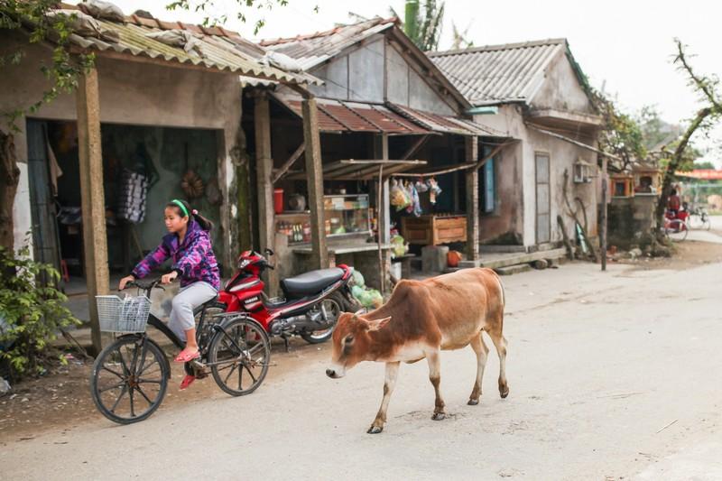 フエ郊外の村と牛(ベトナム)の写真素材