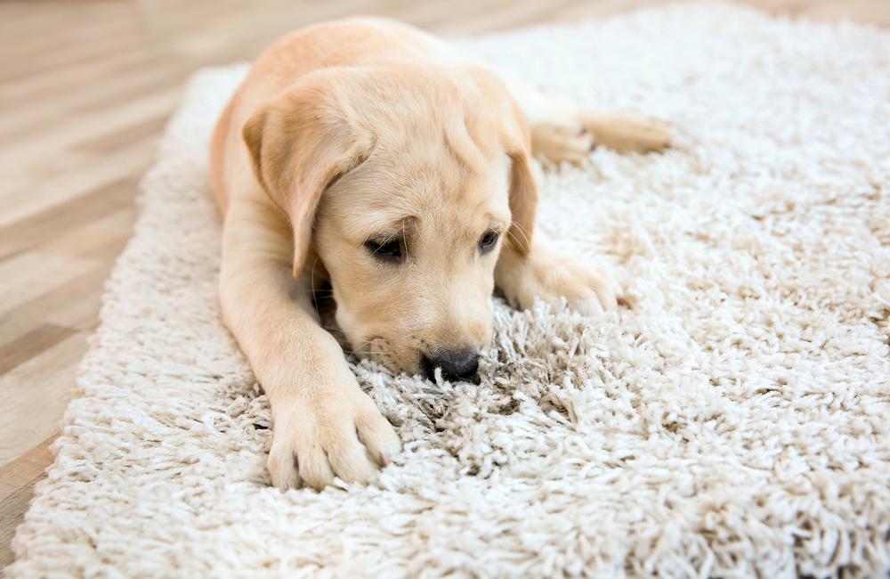 絨毯やカーペットのペットのシミの掃除